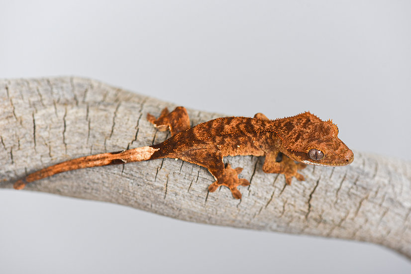 Super Brindle Crested Gecko
