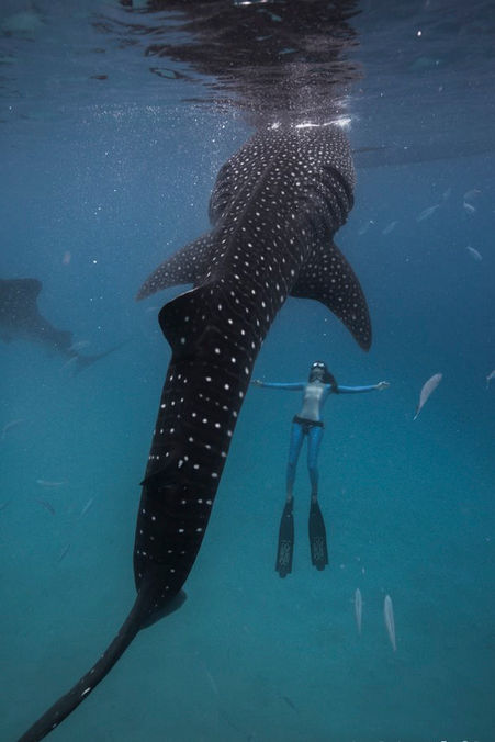 Freedive with Whale Sharks in Tulum, Fredive Tulum Whale Sharks, Freedive whale sharks Isla Mujeres, Freedive Whale sharks Mexico, Freedive Mexico, Freedive Tulum