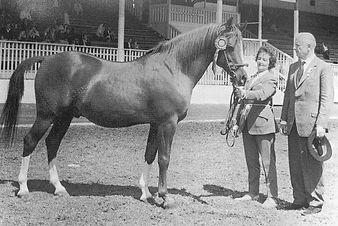 Grantchester Crabbet Stallion