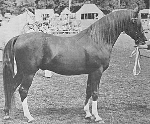 General Gold Crabbet Stallion