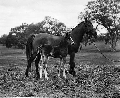 General Grant Crabbet Stallion