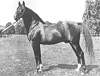 Radi Crabbet Arabian Stallion