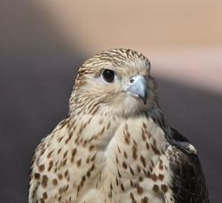 Young Falcon