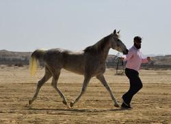 Bahraini Horses