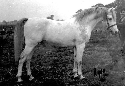 Greylight Crabbet Arabian Stallion