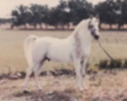 Greylight Crabbet Stallion