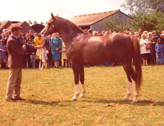 Taqah Crabbet Stallion