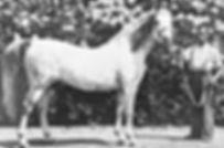 Raktha Crabbet Stallion