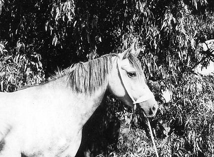 Bright Shadow Crabbet Arabian Stallion
