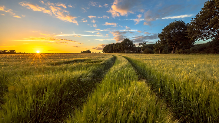 tractor-track-through-wheat-field-at-sunset-FLW5SBZ.webp