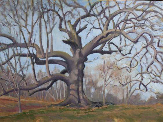 Southern Red Oak in Winter
