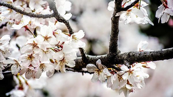 cherryblossom-4448530_1920_edited.jpg