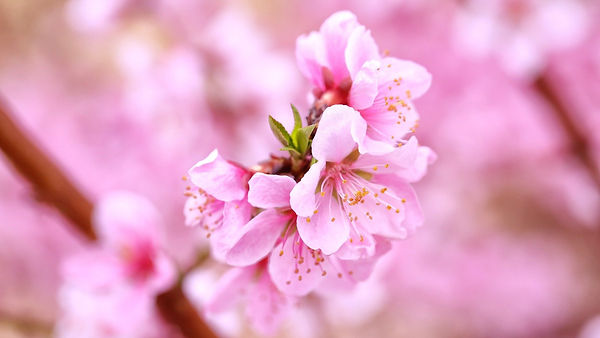 peach-blossom-4286230_1920_edited.jpg