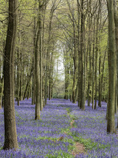 Bluebells Dockey Wood 5
