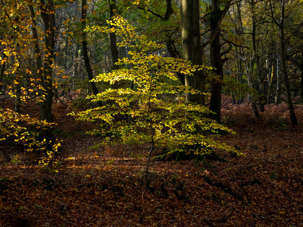 An Autumn Sapling, Ashridge