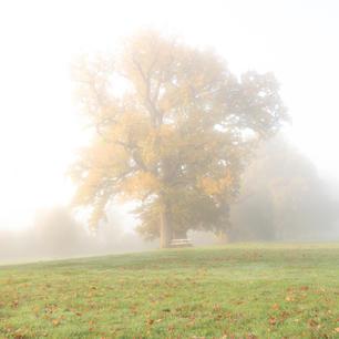 Golden Oak Tree, Rothamsted Park