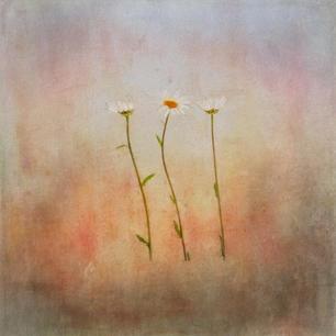 446 three daisies.jpg