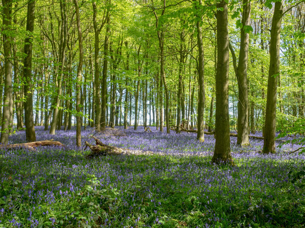 Bluebells, Knott Wood