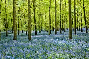 Bluebells Dockey Wood 2