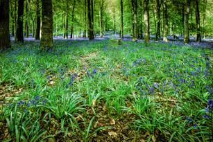 Bluebells Dockey Wood 1