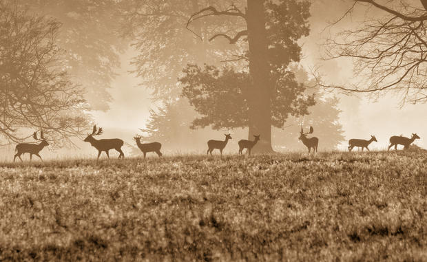 Ashridge Deer