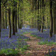 Bluebells Dockey Wood 6