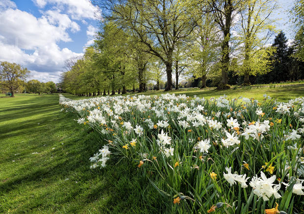 Avenue of Daffodils, Rothamsted