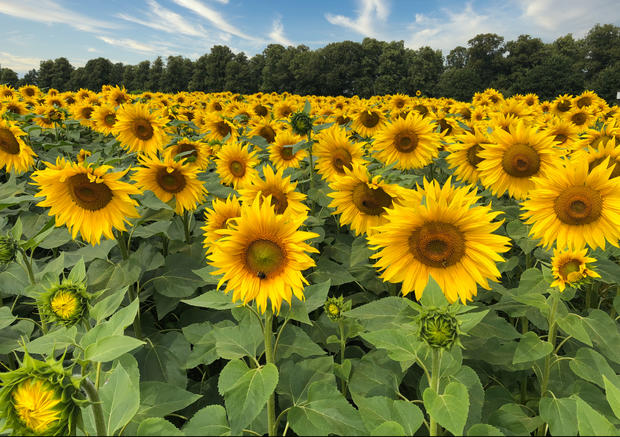 Sun Flowers, Rothamsted