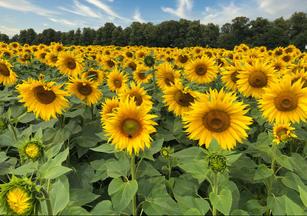 Sun Flowers, Rothamsted