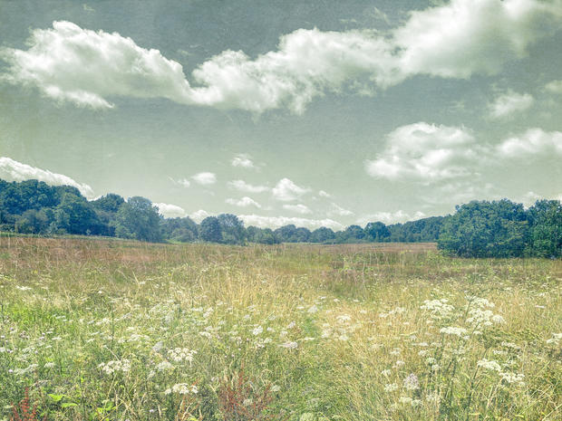 Cow Parsley on Harpenden Common