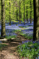 Bluebells Dockey Wood 3