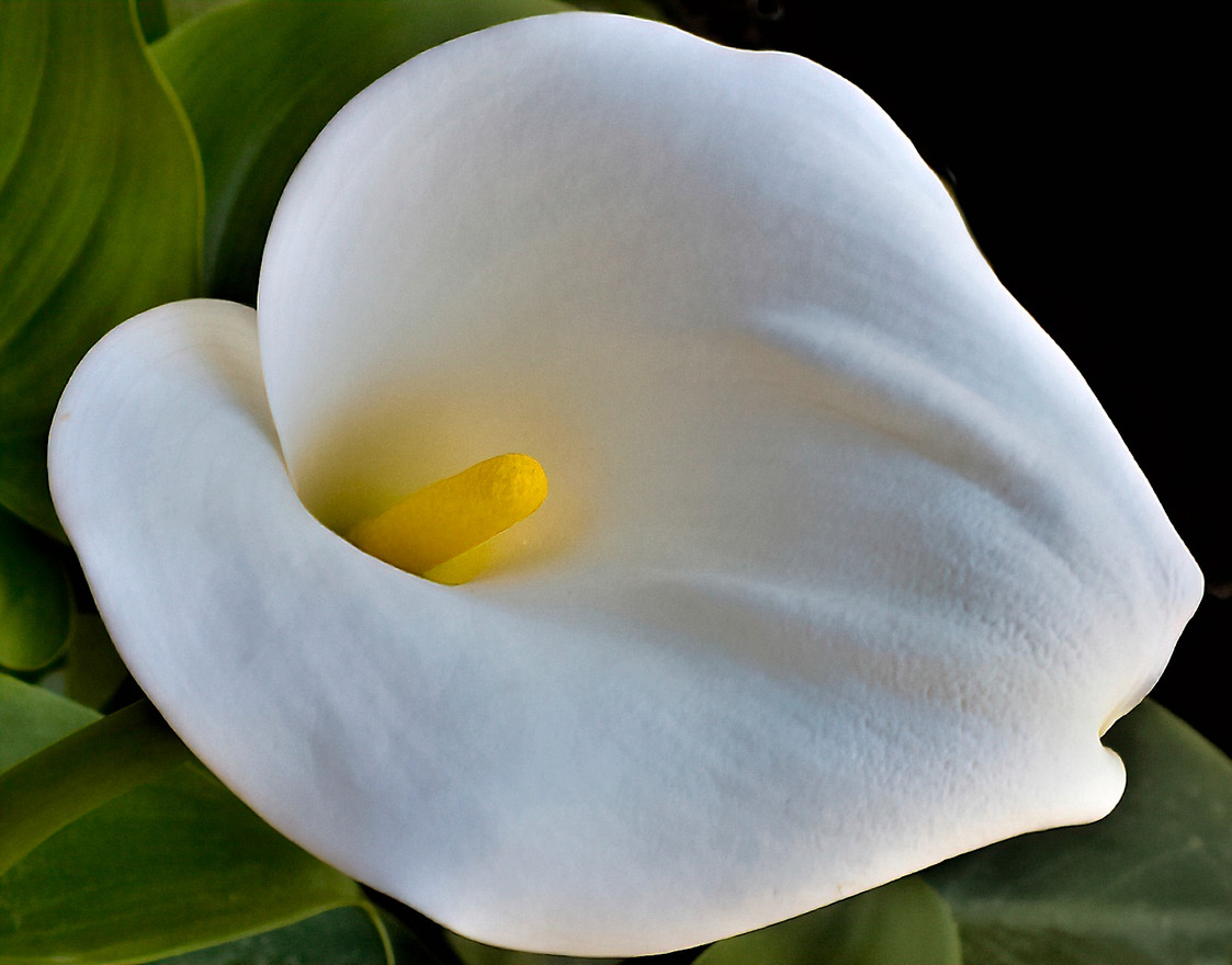Advanced - Calla Lily - Bob Ricketts