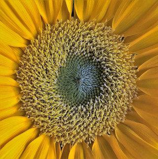 Novice - Center of a Sunflower -Pat Webster