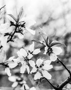 NAA bloom