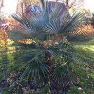 December 2020. Trachycarpus princeps grøn (sp. nova)