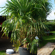 Oktober 2020 - Plantning af palme i Hejls
