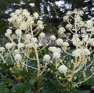 November 2020. Blomtrende Fatsia japonica