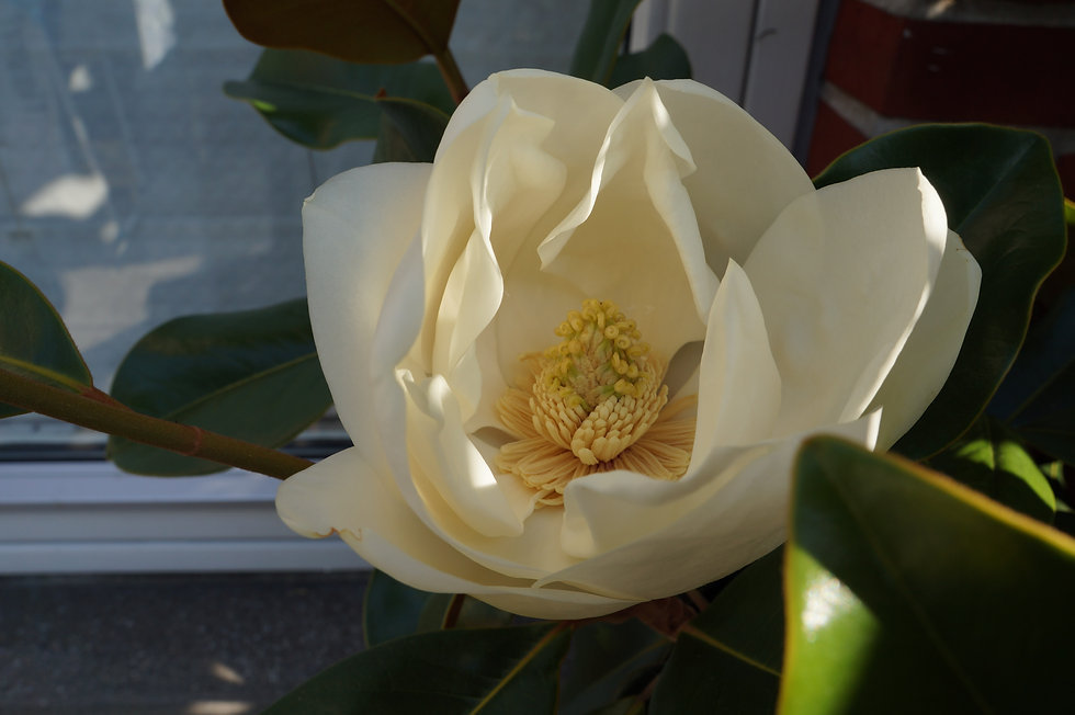 magnolia billede.JPG