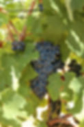 grape of black vine