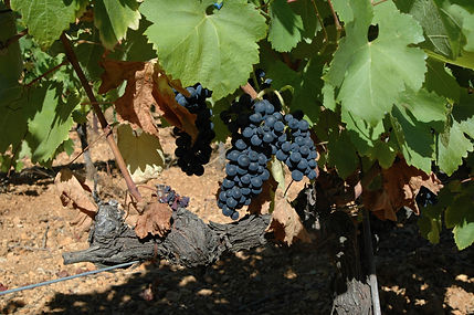 the syrah of terre astrale