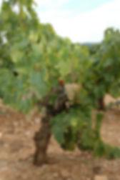 An old vine of grenache for Raison folle