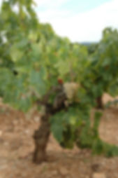 An old vine of grenache for Raison folle