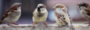 sparrows-2759978_1280_edited.jpg