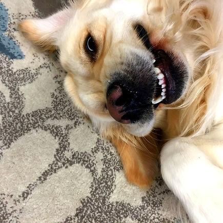 Office dog, Golden Retriever Westley