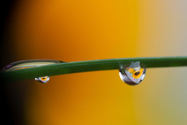 Macro Tropfen mit Sonnenblumen