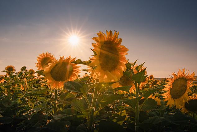 Sonne(nblumen)