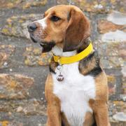 @pongo_the_beagle