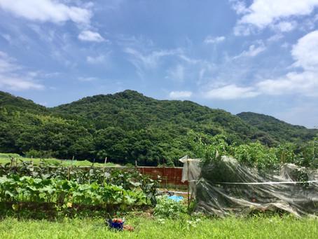 みずみずしい夏野菜の収穫