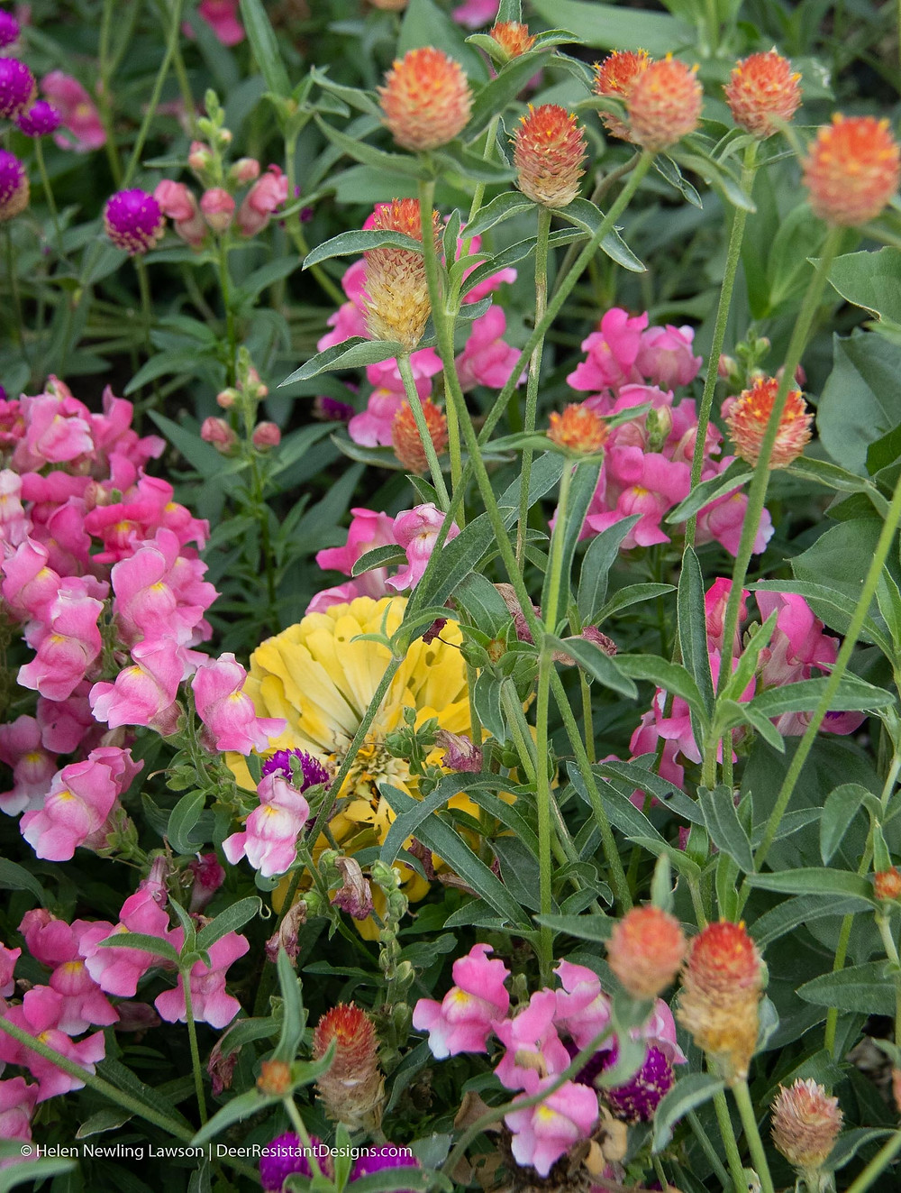 Snapdragons, zinnias and gomphrena are all deer-resistant annuals that grow well together