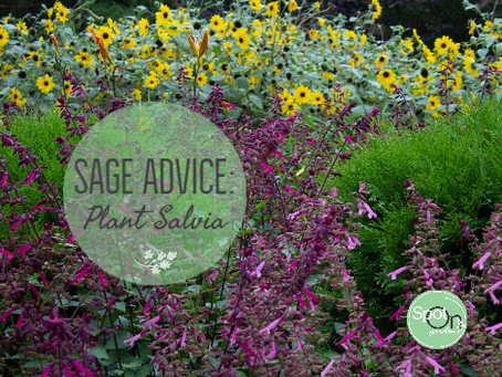 Sage Advice: Plant salvia for a deer-resistant garden